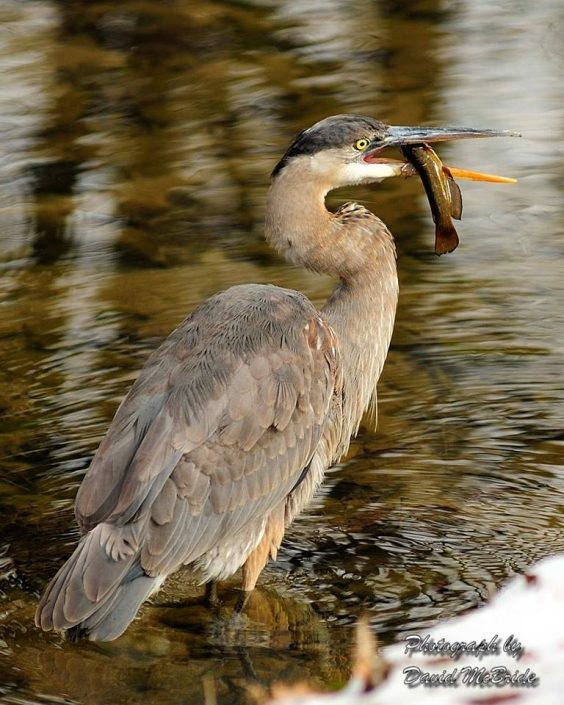 Heron Eating A Fish In The Great Smoky Mountains
