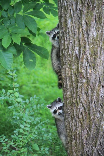 raccoons-on-a-tree